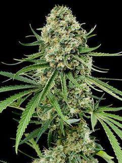 Skunk Ak Automatic Feminizowane, Nasiona Marihuany, Konopi, Cannabis