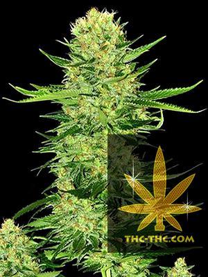 Skunk Ak Feminizowane, Nasiona Marihuany, Konopi, Cannabis