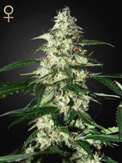 Skunk Automatic Feminizowane, Nasiona Marihuany, Konopi, Cannabis