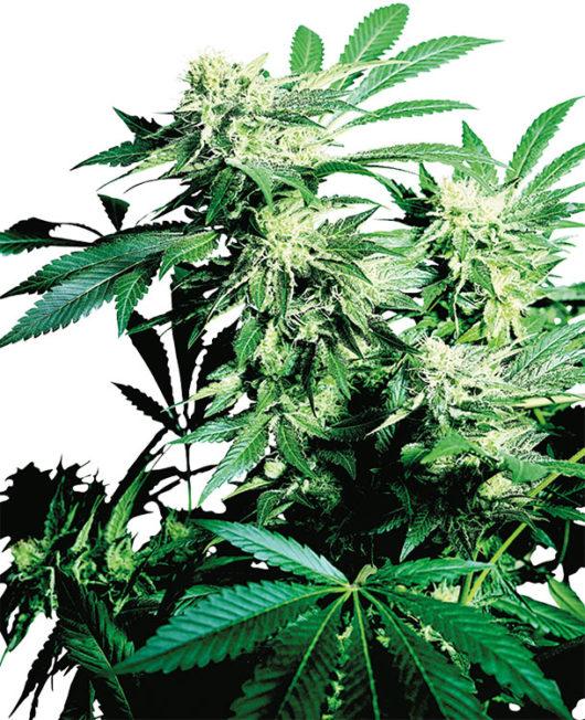 Skunk Kush Feminizowane, Nasiona Marihuany, Konopi, Cannabis