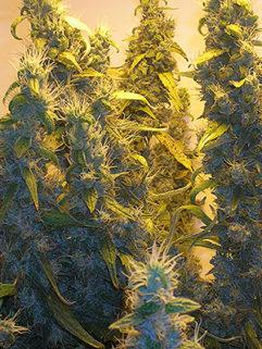 Skunk Special Feminizowane, Nasiona Marihuany, Konopi, Cannabis