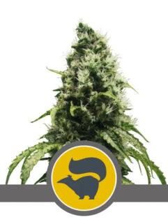 Skunk XL Regularne, Nasiona Marihuany, Konopi, Cannabis