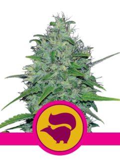 Skunk XL Feminizowane, Nasiona Marihuany, Konopi, Cannabis