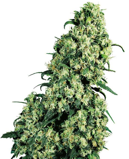 Skunk#1 Feminizowane, Nasiona Marihuany, Konopi, Cannabis