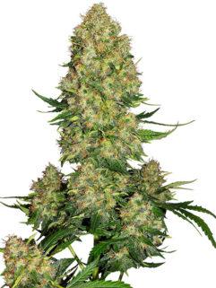 Skunk#1 Automatic Feminizowane, Nasiona Marihuany, Konopi, Cannabis