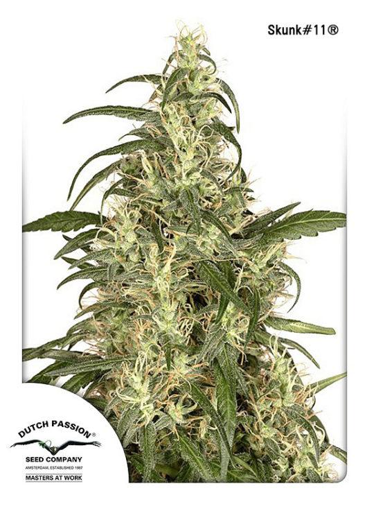 Skunk#11 Feminizowane, Nasiona Marihuany, Konopi, Cannabis