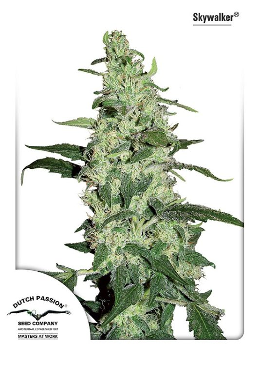 Skywalker Feminizowane, Nasiona Marihuany, Konopi, Cannabis