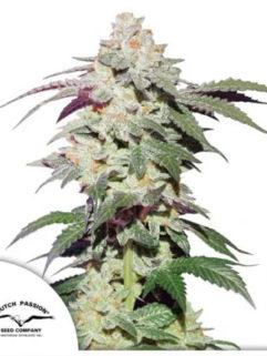 Skywalker Haze Feminizowane, Nasiona Marihuany, Konopi, Cannabis