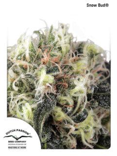 Snow Bud Feminizowane, Nasiona Marihuany, Konopi, Cannabis