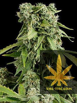 Snow Russian Automatic Feminizowane, Nasiona Marihuany, Konopi, Cannabis