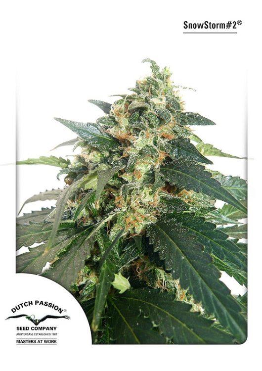 SnowStorm#2 Automatic Feminizowane, Nasiona Marihuany, Konopi, Cannabis