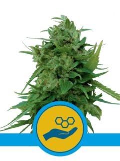 Solomatic CBD Automatic Feminizowane, Nasiona Marihuany, Konopi, Cannabis