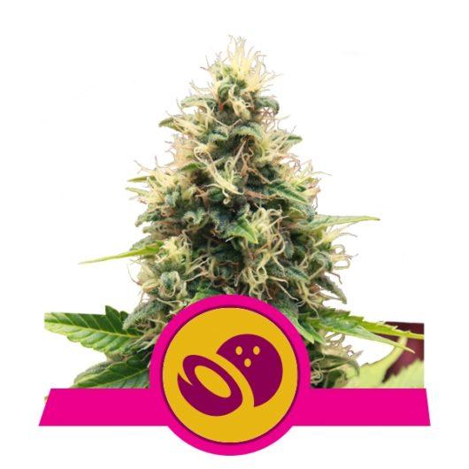 Somango XL Feminizowane, Nasiona Marihuany, Konopi, Cannabis