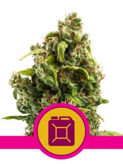 Sour Diesel Feminizowane, Nasiona Marihuany, Konopi, Cannabis