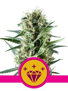 Special Kush#1 Feminizowane, Nasiona Marihuany, Konopi, Cannabis