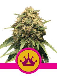 Special Queen#1 Feminizowane, Nasiona Marihuany, Konopi, Cannabis