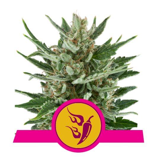 Speedy Chile Feminizowane, Nasiona Marihuany, Konopi, Cannabis