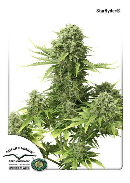 StarRyder Automatic Feminizowane, Nasiona Marihuany, Konopi, Cannabis