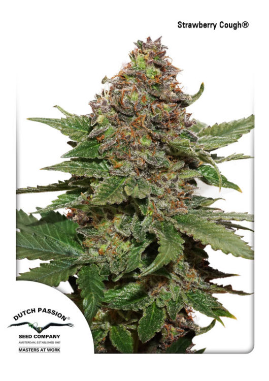 Strawberry Cough Feminizowane, Nasiona Marihuany, Konopi, Cannabis