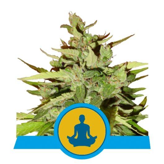 Stress Killer CBD Automatic Feminizowane, Nasiona Marihuany, Konopi, Cannabis