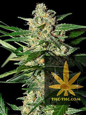 Strong Berry Automatic Feminizowane, Nasiona Marihuany, Konopi, Cannabis