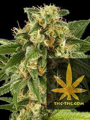 Strong Berry Feminizowane, Nasiona Marihuany, Konopi, Cannabis