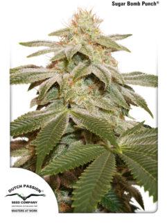 Sugar Bomb Punch Feminizowane, Nasiona Marihuany, Konopi, Cannabis