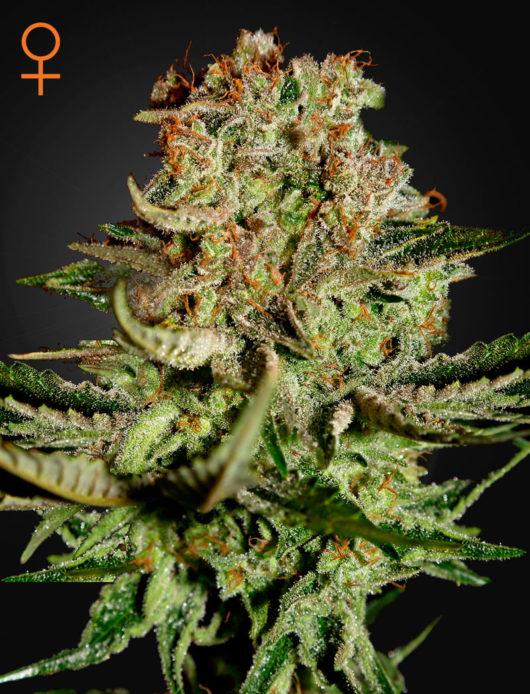Super Bud Feminizowane, Nasiona Marihuany, Konopi, Cannabis
