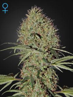 Super Bud Automatic Feminizowane, Nasiona Marihuany, Konopi, Cannabis