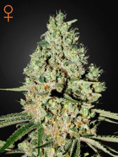 Super Critical Feminizowane, Nasiona Marihuany, Konopi, Cannabis