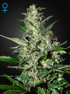 Super Critical Automatic Feminizowane, Nasiona Marihuany, Konopi, Cannabis