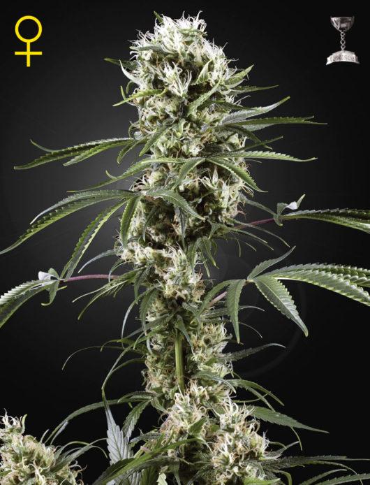 Super Lemon Haze Feminizowane, Nasiona Marihuany, Konopi, Cannabis