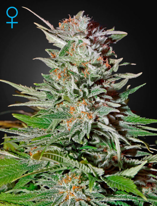 Super Lemon Haze Automatic Feminizowane, Nasiona Marihuany, Konopi, Cannabis