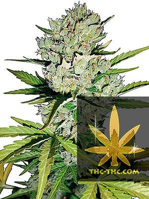 Super LSD XL Feminizowane, Nasiona Marihuany, Konopi, Cannabis