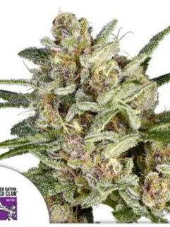 Super Mad Sky Floater Feminizowane, Nasiona Marihuany, Konopi, Cannabis