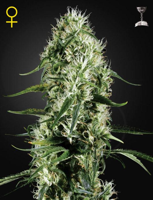 Super Silver Haze Feminizowane, Nasiona Marihuany, Konopi, Cannabis