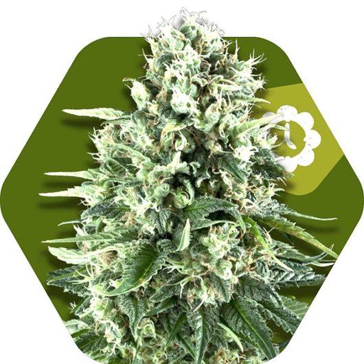 Super Silver Haze Automatic Feminizowane, Nasiona Marihuany, Konopi, Cannabis