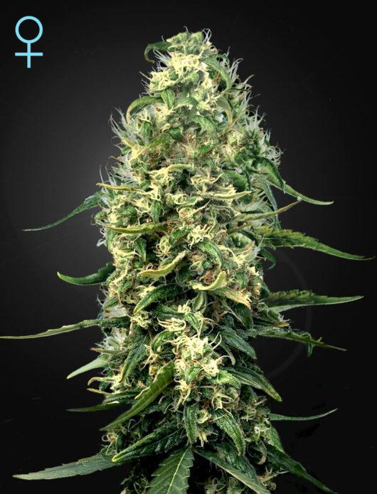 Super Silver Haze CBD Feminizowane, Nasiona Marihuany, Konopi, Cannabis