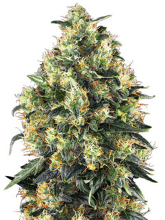 Super Skunk Automatic Feminizowane, Nasiona Marihuany, Konopi, Cannabis