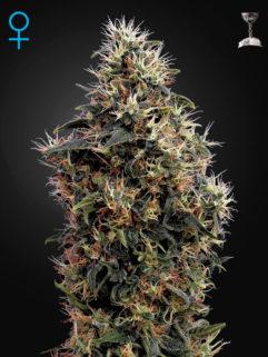 Sweet Mango Automatic Feminizowane, Nasiona Marihuany, Konopi, Cannabis