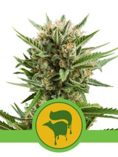 Sweet Skunk Automatic Feminizowane, Nasiona Marihuany, Konopi, Cannabis