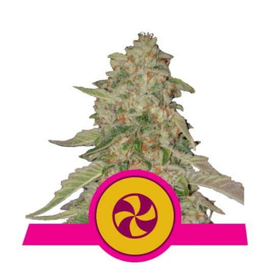 Sweet Zkittlez Feminizowane, Nasiona Marihuany, Konopi, Cannabis