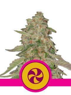 Sweet ZZ Feminizowane, Nasiona Marihuany, Konopi, Cannabis