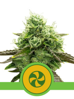 Sweet ZZ Automatic Feminizowane, Nasiona Marihuany, Konopi, Cannabis