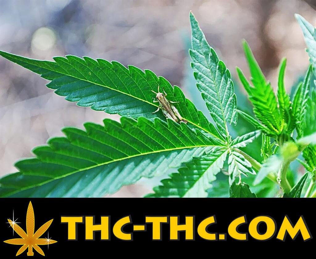 szkodniki w uprawie konopi, zwalczanie szkodników w hodowli marihuany