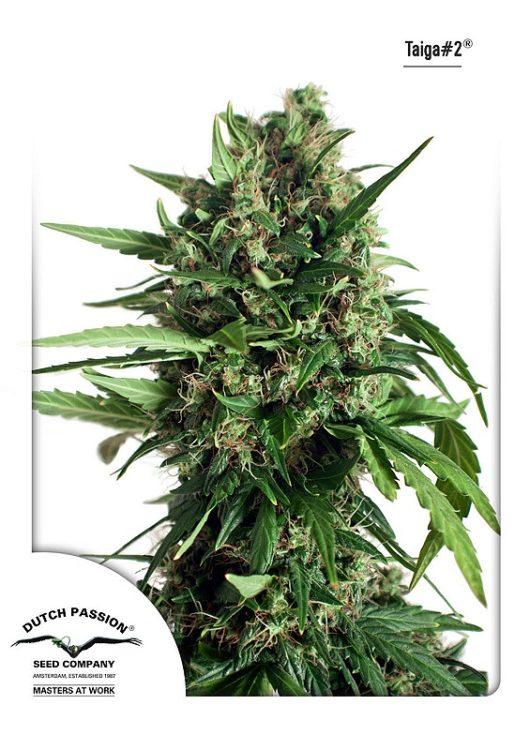 Taiga#2 Automatic Feminizowane, Nasiona Marihuany, Konopi, Cannabis