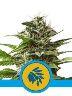 Tatanka Pure CBD Feminizowane, Nasiona Marihuany, Konopi, Cannabis