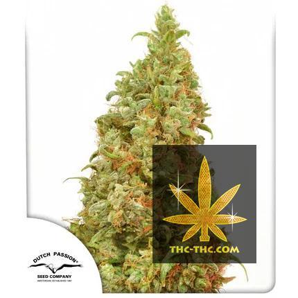 THC-Victory Feminizowane, Nasiona Marihuany, Konopi, Cannabis