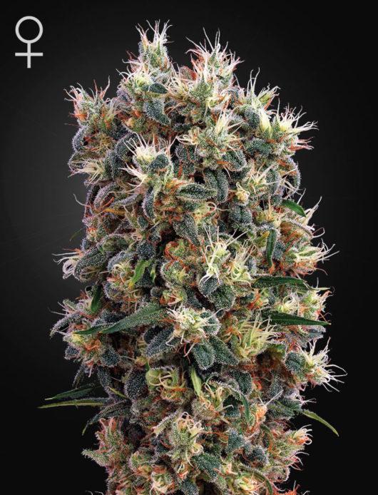 The Church Feminizowane, Nasiona Marihuany, Konopi, Cannabis