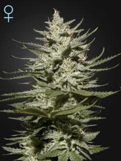 The Church CBD Feminizowane, Nasiona Marihuany, Konopi, Cannabis